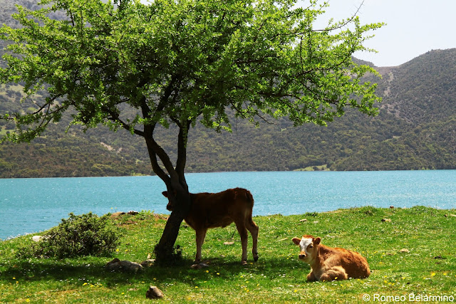 Cows Tripology Adventures Off-Road Trip Central Greece