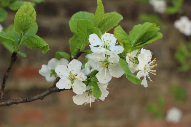 White blossom in springtime