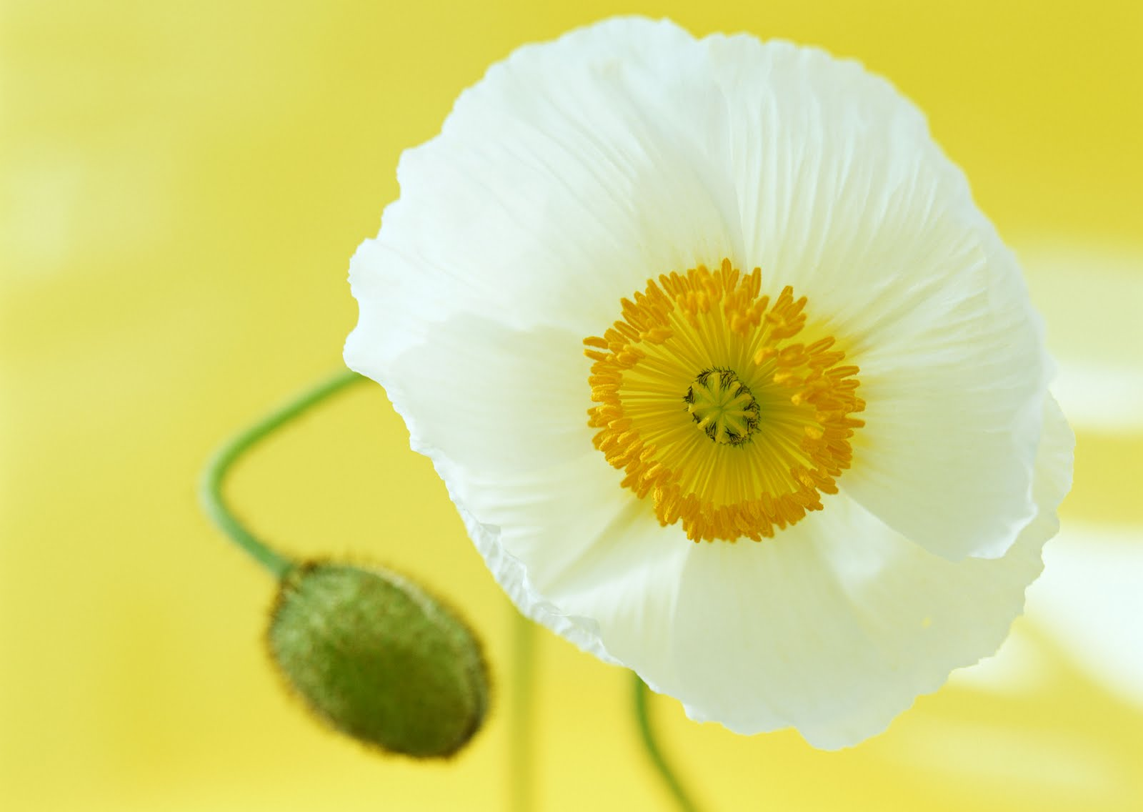 Funky White Poppy Flower Meaning Image Collection Ball Gown
