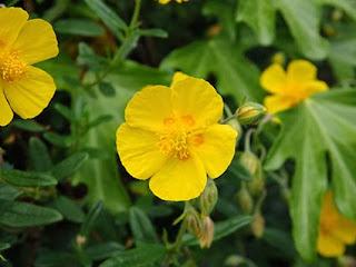 Flor amarilla de Jarilla (Helianthemum nummularium)