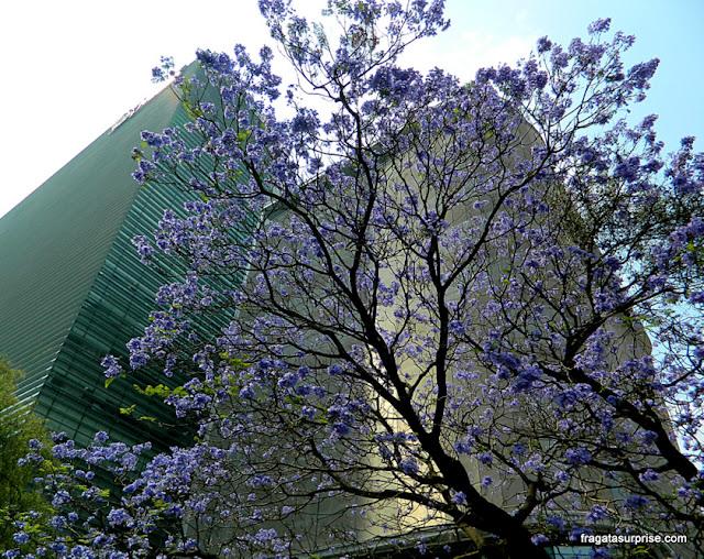 Cidade do México - jacarandás floridos no bairro de Polanco