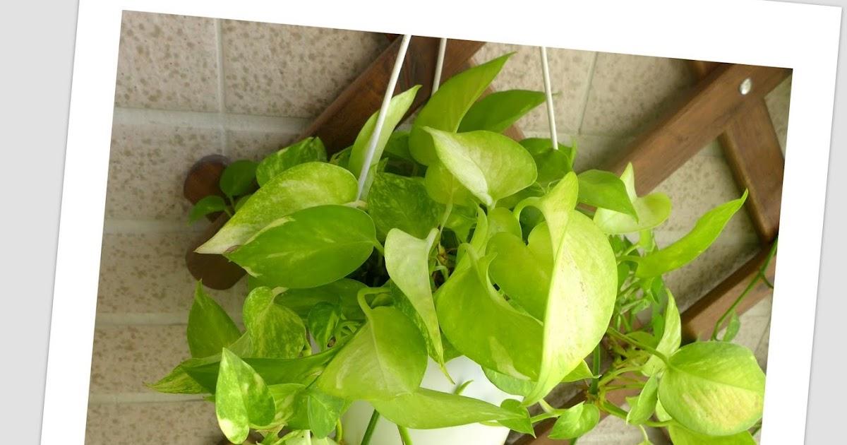 Ivy Decor For Kitchen