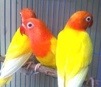 Lovebird Dewasa Lutino MM