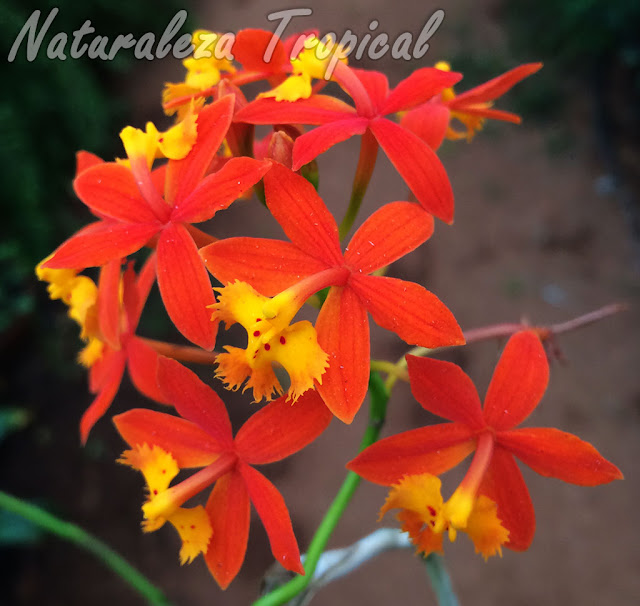 Flores de la orquídea Estrella de Fuego o Arcoíris, Epidendrum radicans