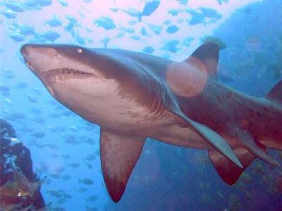 Tubarão-Touro (Carcharias taurus)