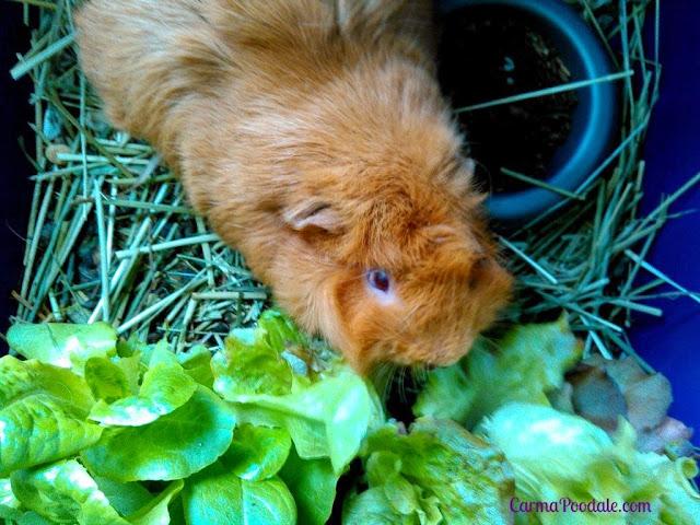 A #GuineaPig named #Cinnamon sampling so lettuce