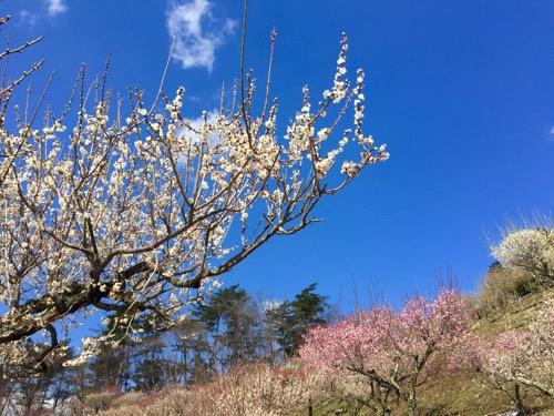 宝登山山頂の梅百花園
