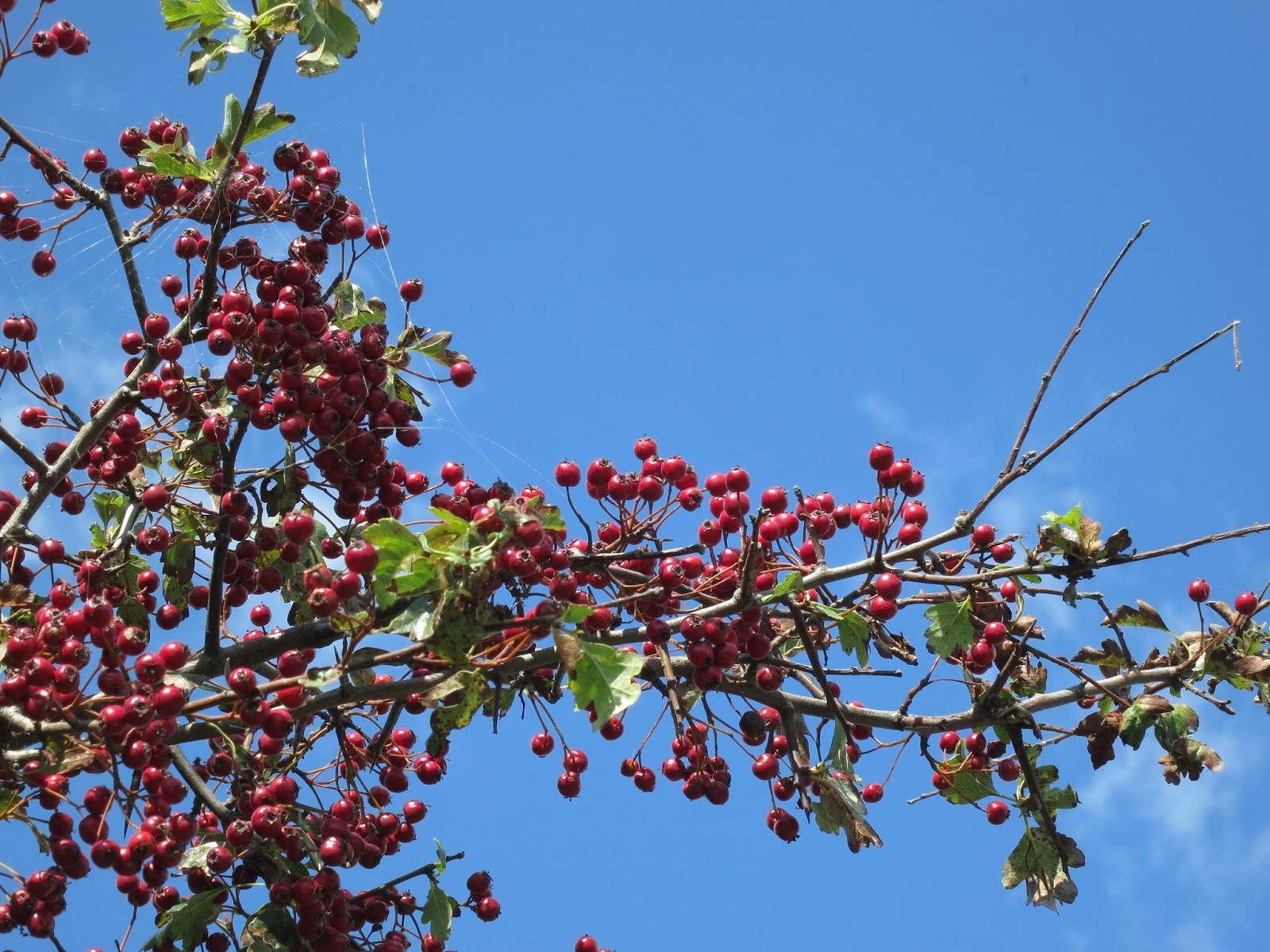 Branch of a hawthorn tree laden with bright red haws against a blue sky