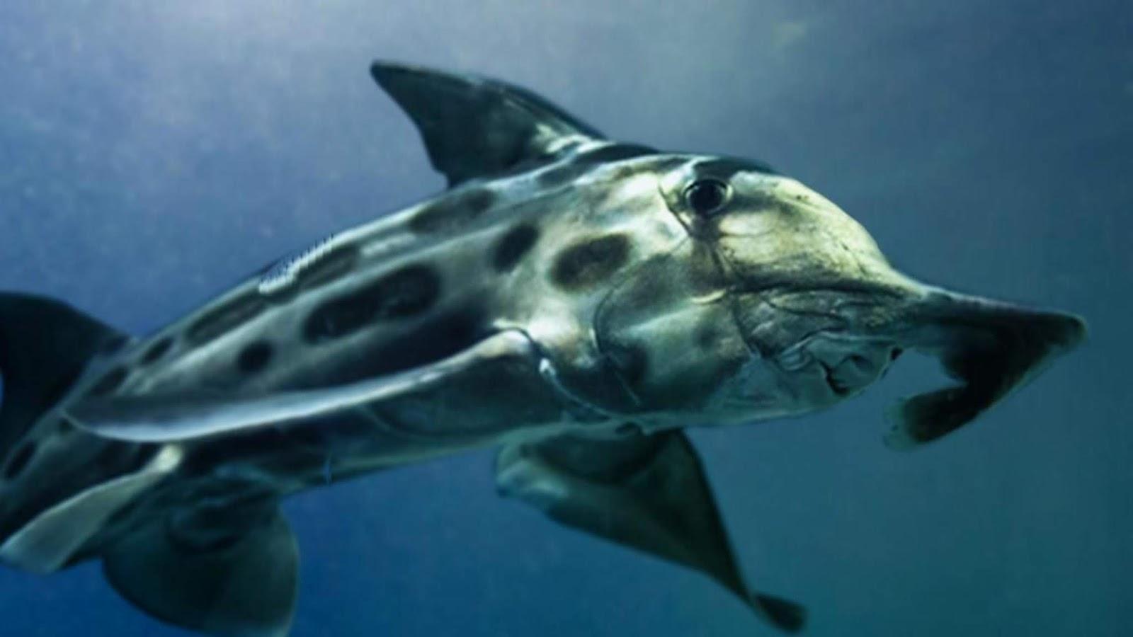 fil balığı