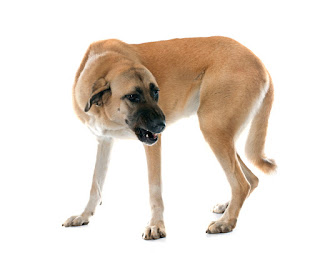 Everything about your Anatolian Shepherd