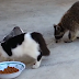 What Will 3 Cats do When 1 Raccoon Comes to Steal Their Food?