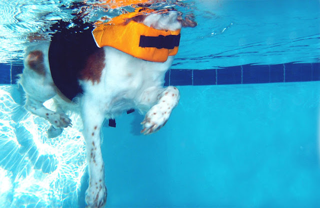 Dog Weight Management - dog using hydrotherapy