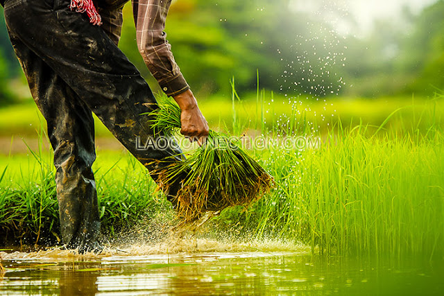 Portraits of a Rice Farmer ຮູບພາບເຮັດທົ່ງນາ