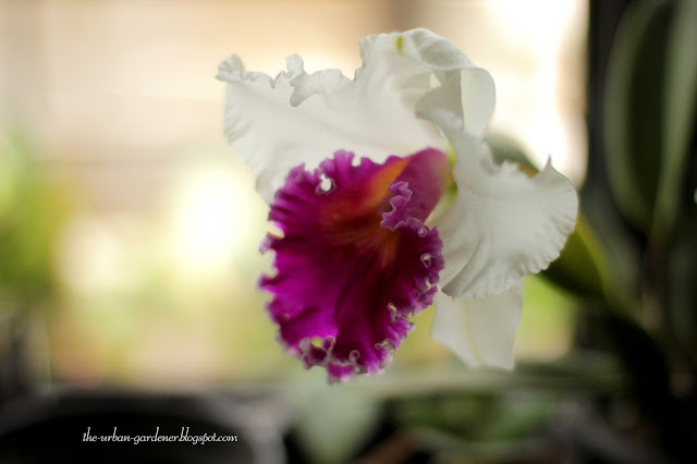 Cattleya orchid grown in Mumbai city, in bloom