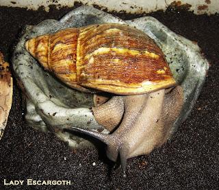 Escargot géant baignoire