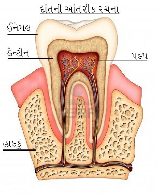 દાંતનો સડો, દાંતની આંતરિક રચના