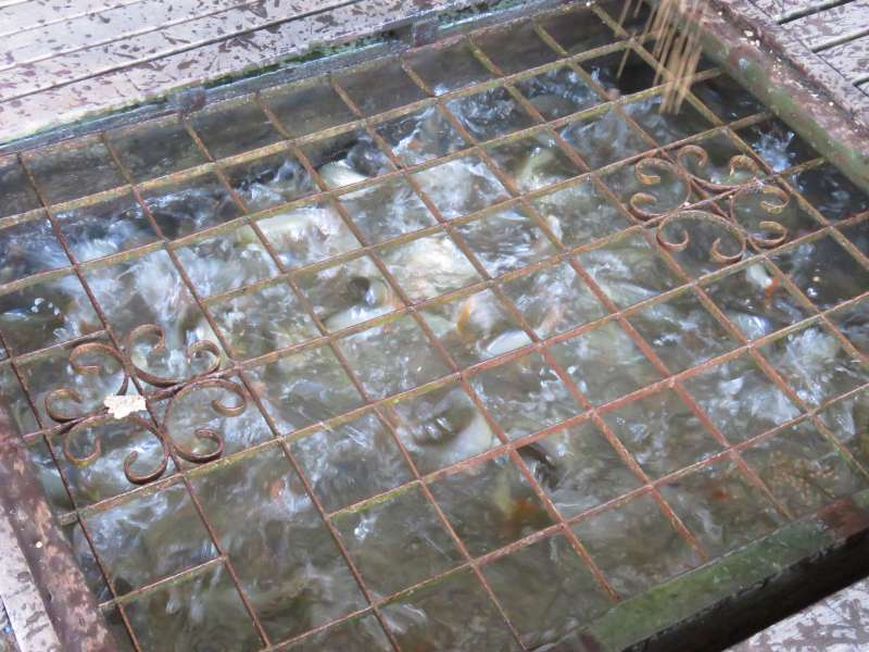 Basa in a fish farm pen
