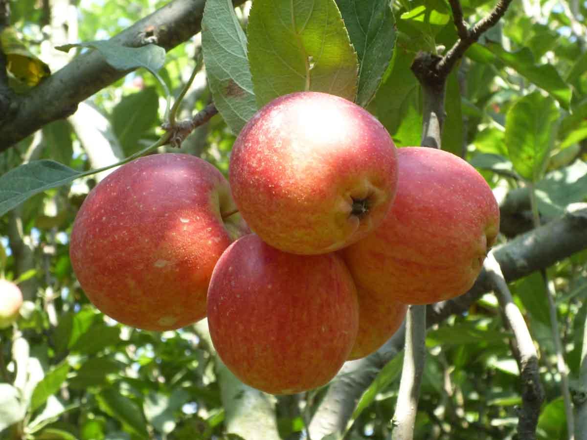 Cukup makan 1 apel per hari untuk cegah kegemukan
