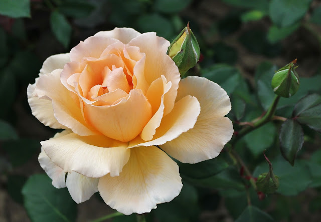 IGA Berlin 2017 Rose