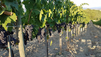 vigne cava d'onice 2017