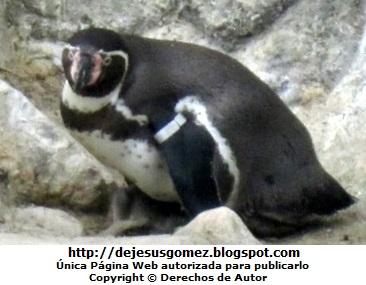 Foto de Pingüino hembra con su bebe cria. Foto Tomada por Jesus Gómez