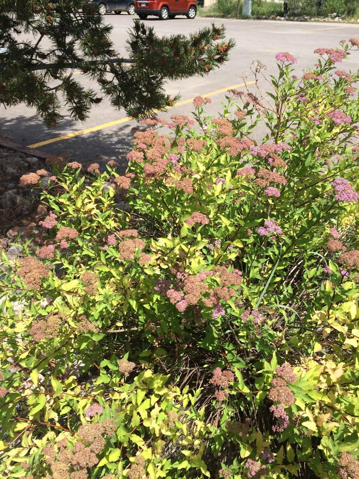 Colorado Mountain Gardener Spirea In The Garden By Vicki Barney