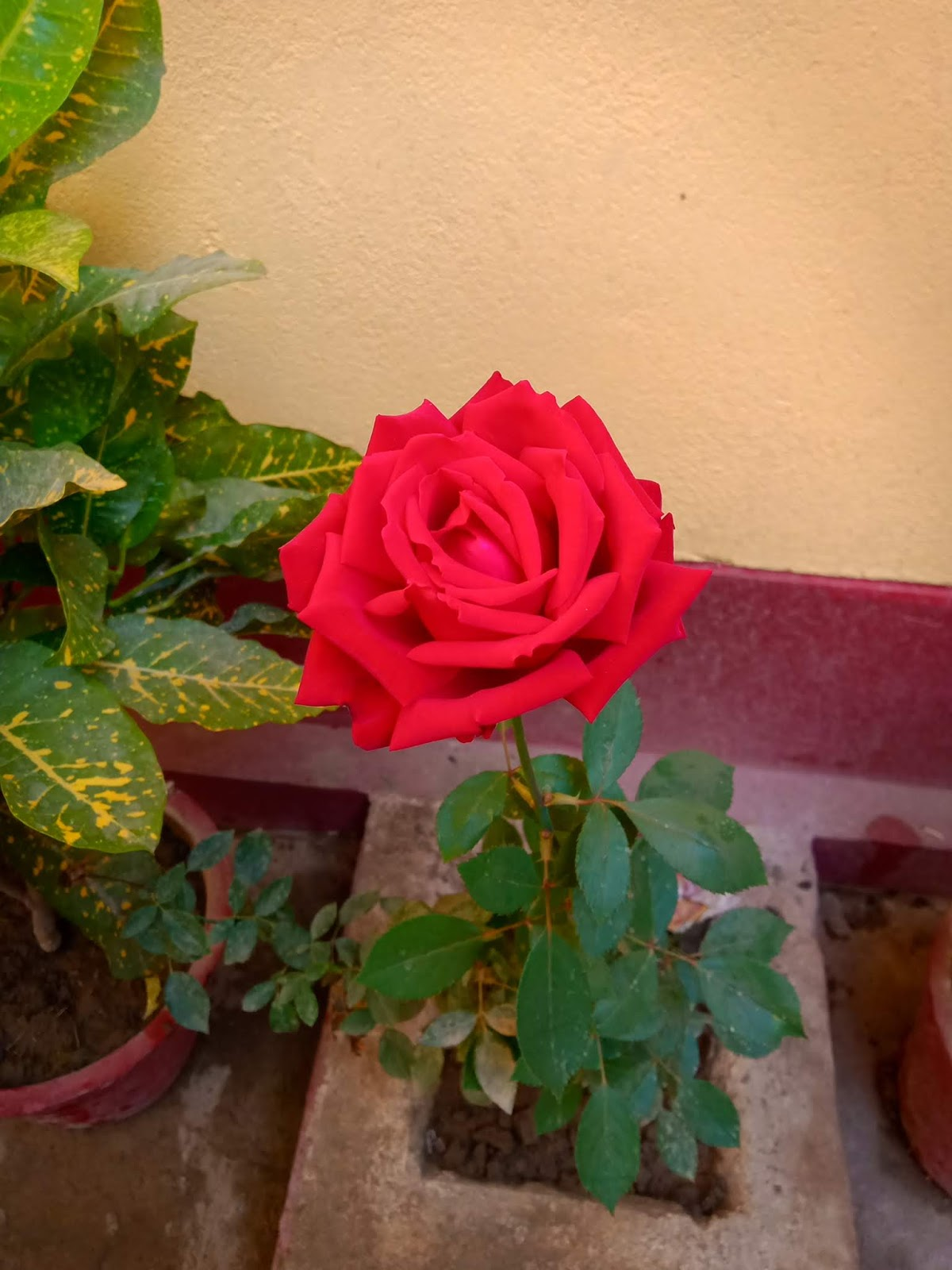 Beautiful Red Rose Flower For Gf