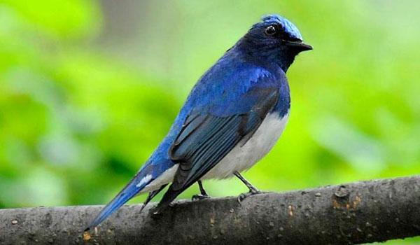 harga burung selendang biru