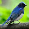 Harga Burung Selendang Biru Terbaru 2018