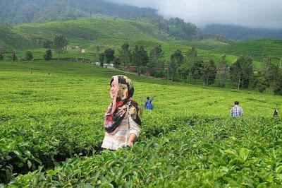kebun teh alahan panjang solok