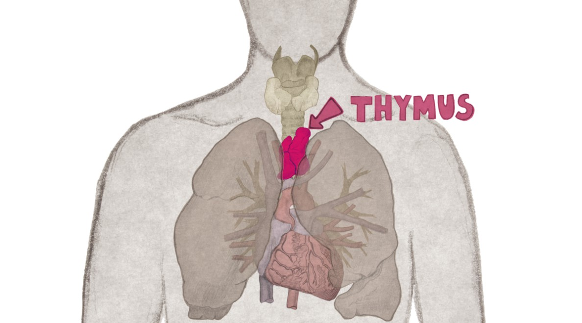 Órganos linfoides primarios y secundarios - Biología
