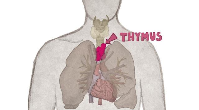 Timo y biologia