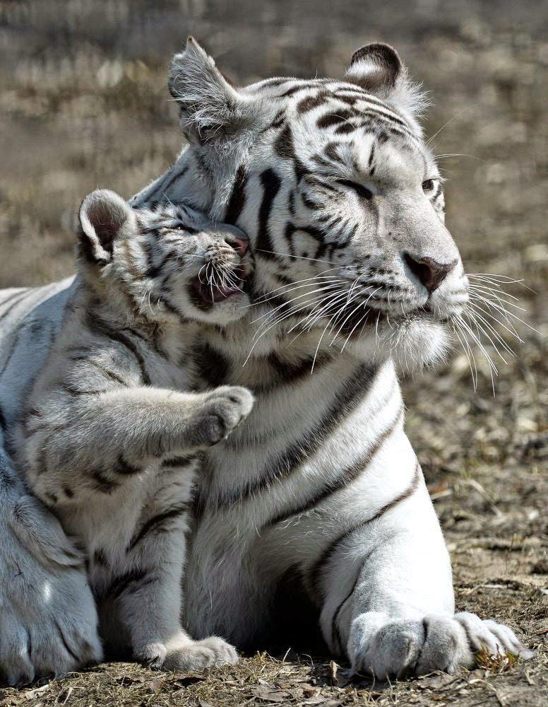 letzte tiger sichtung laos