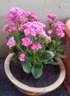 Gambar Bunga Cocor Bebek 2