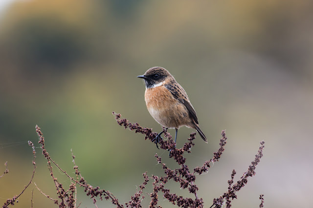 Stonechat Obsession