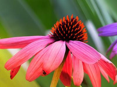 efek samping echinacea, echinacea harga, nama lain echinacea, nama indonesia echinacea purpurea, manfaat echinacea extract, gambar tanaman echinacea, zn picolinate adalah, teh echinacea,