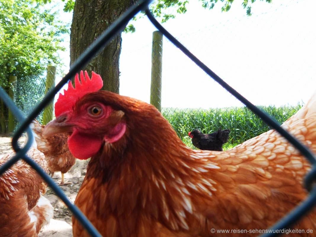Glückliches Huhn auf dem Bauernhof