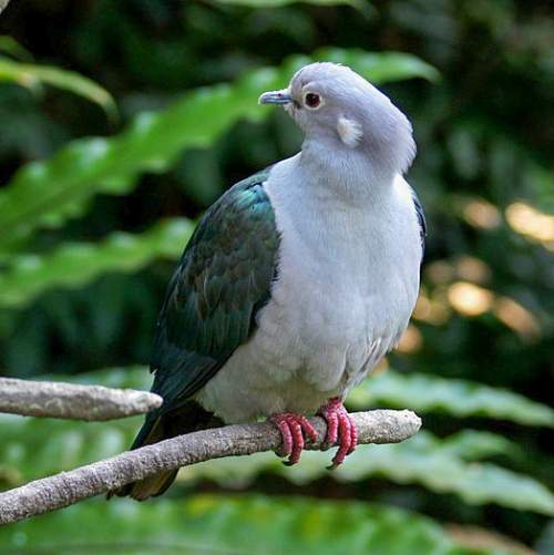 Indian birds - Photo of Green imperial pigeon - Ducula aenea