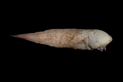 NEW CREATURES DISCOVERED AT THE BOTTOM OF THE OCEAN BY AUSTRALIAN SCIENTISTS