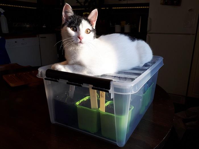 Taimikasvatuslaatikko kissa