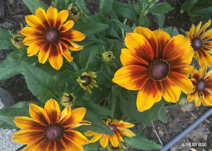 Rudbeckia Autumn Colors / A New Perennial Flower Bed // www.thejoyblog.net