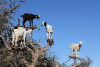 Las cabras son capaces de ramonear en la copa de los arboles