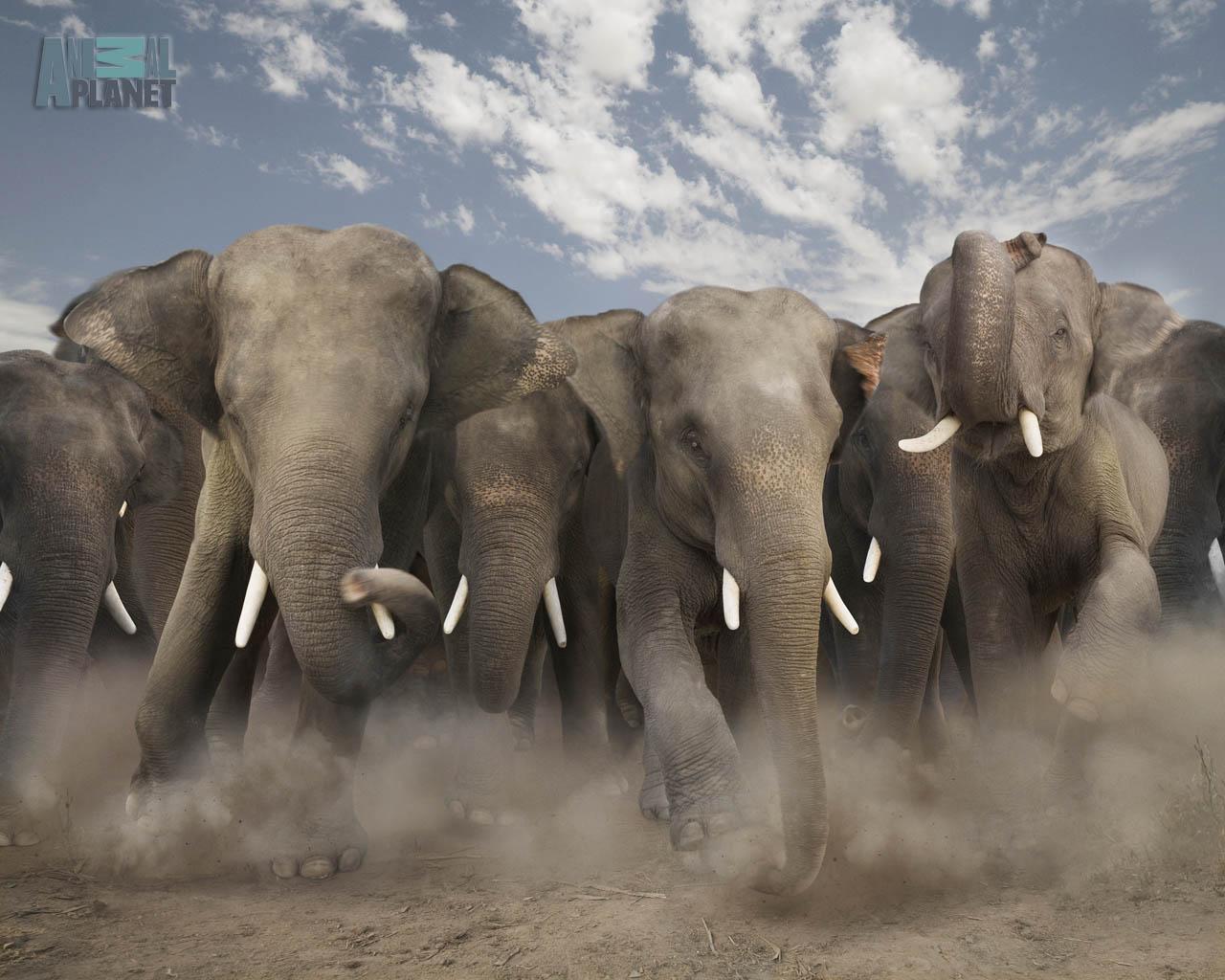 wild animals animal elephant stampede elephants charging herd wildlife nature wallpapers backgrounds desktop herds any stampeding elefantes pic africa comments