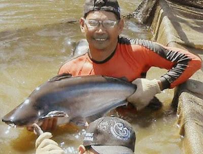 Cara Budidaya Ikan Patin di Kolam Terpal dan Tanah Bagi Pemula