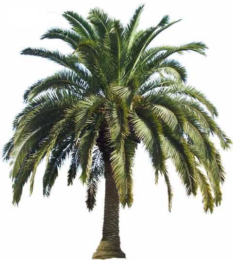 Palm Tree Island: PlantWerkz: Canary Island Date Palms
