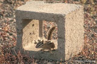 Cramer Imaging's professional quality nature animal photograph of a wild chipmunk in a cinder block in Island Park, Fremont, Idaho