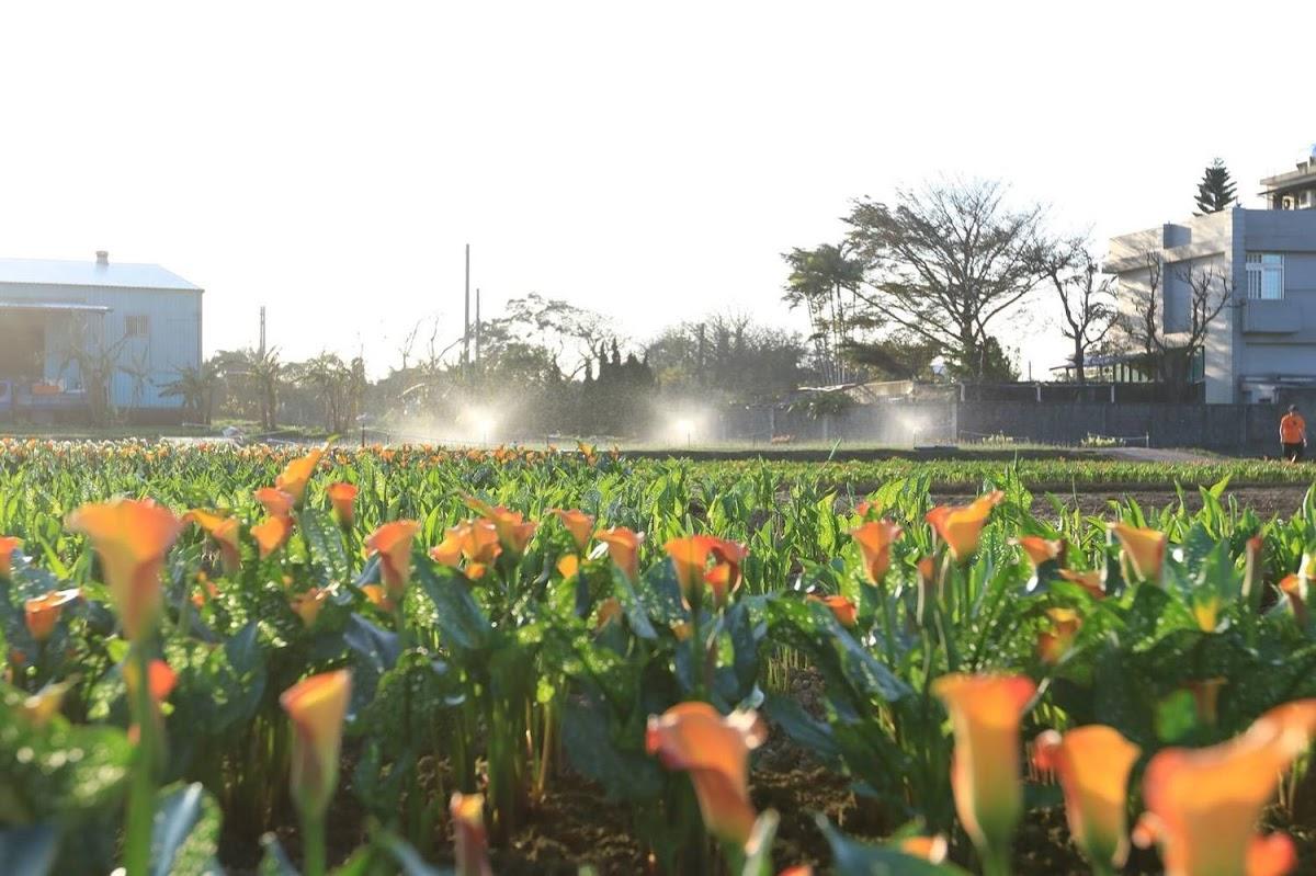 2018桃園彩色海芋季以「戀人勝地,幸福桃園」為目標、「浪漫芋花園」為主題,活動時間於3月10日至3月25日,於大園區聖德北路與田溪路交叉口舉辦。