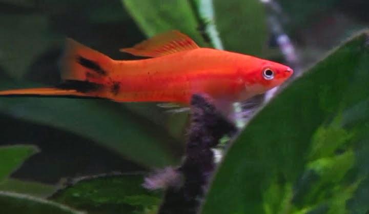 Fish Zone: swordtail