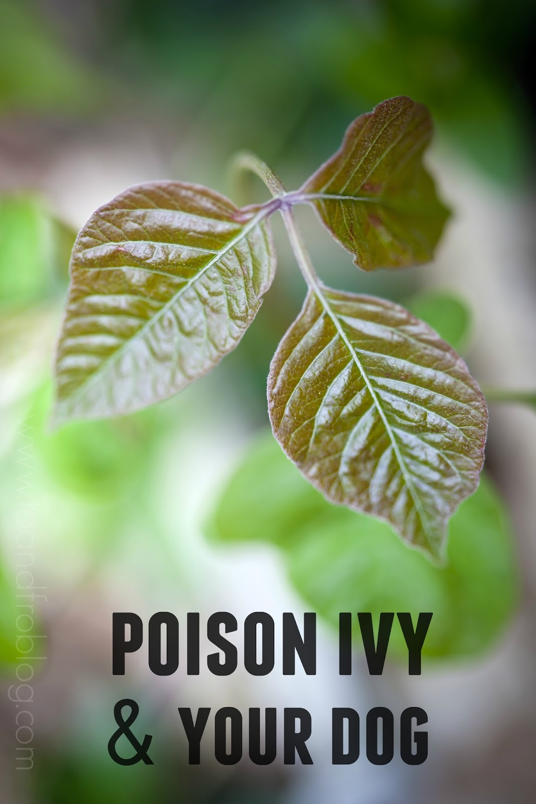 poison ivy and your dog