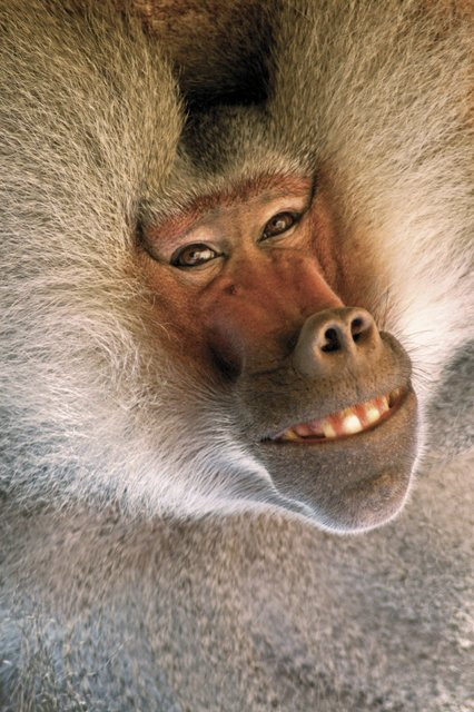 Funny baboon images |Funny Animal